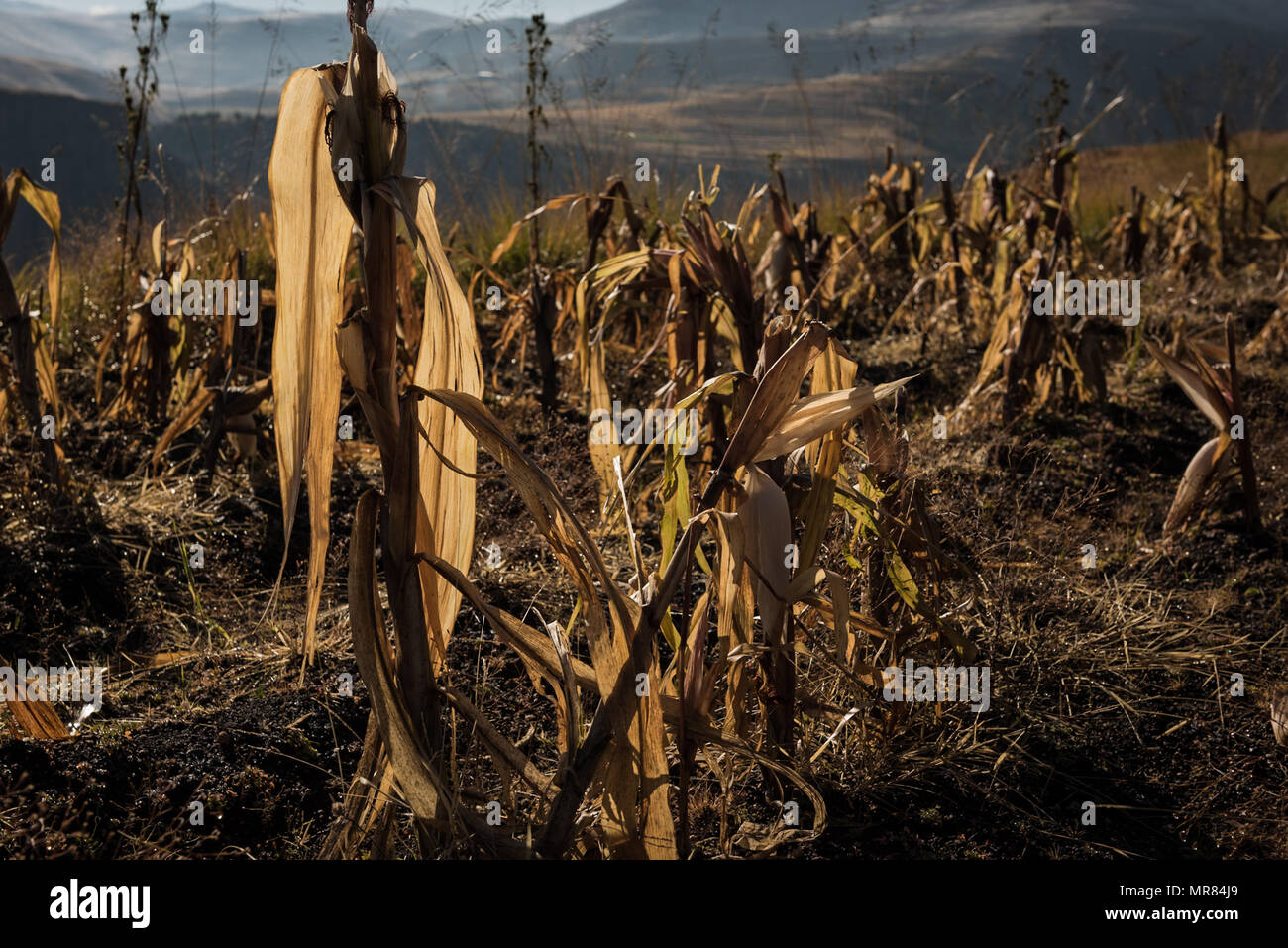 Maize is the staple diet in Lesotho. The mountainous country suffers from regular bouts of food insecurity - Stock Image