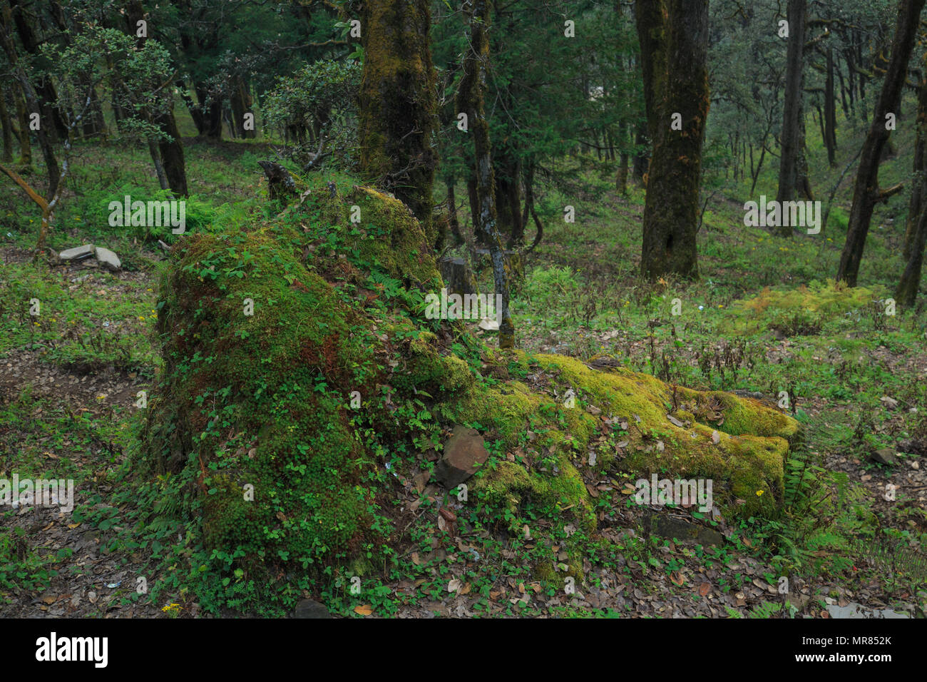Rocks covered with algae and moss - photographed at Jalori Pass (Himachal Pradesh, India) - Stock Image
