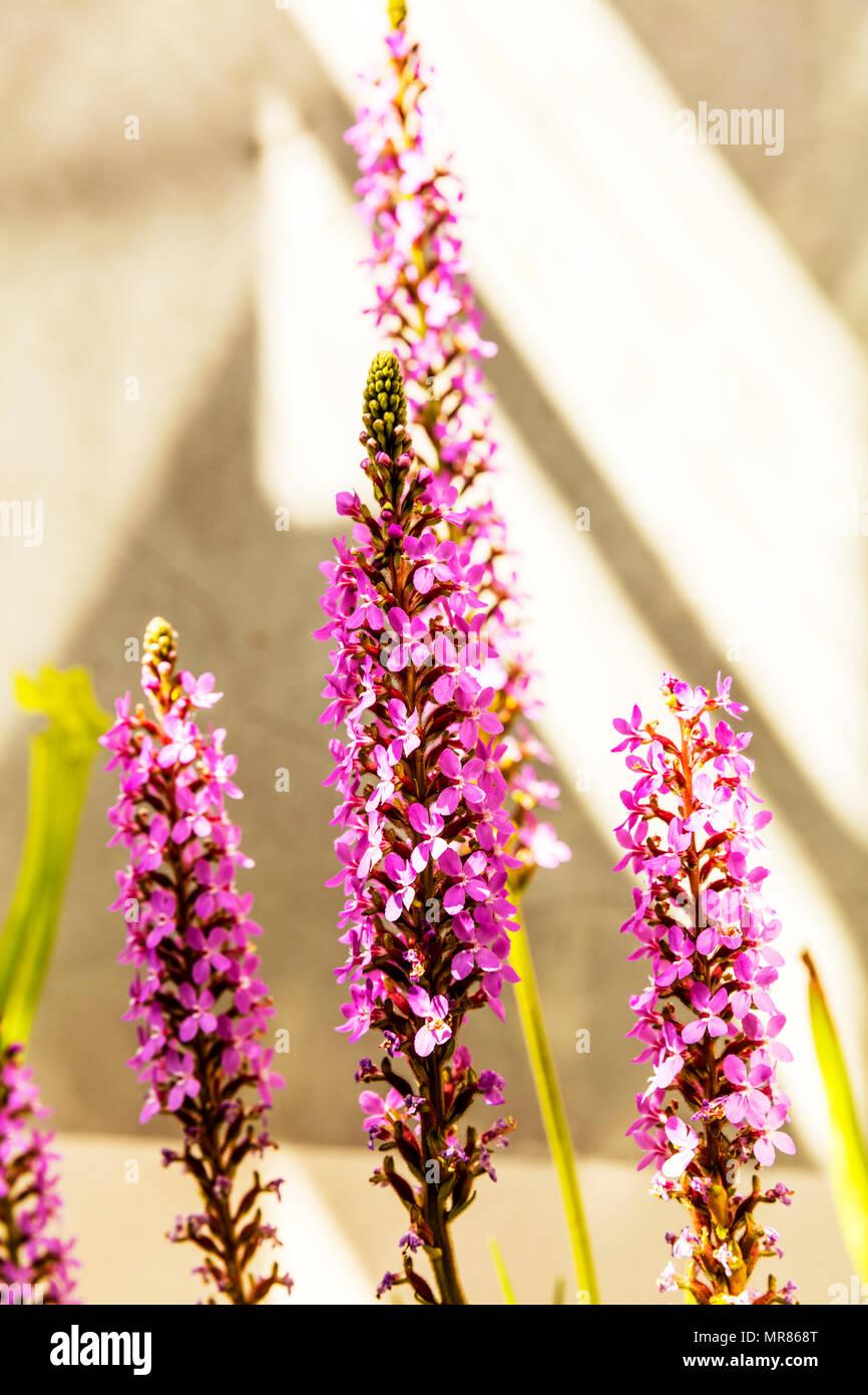 Grass Trigger Plant, Stylidium graminifolium, grass triggerplant, dicotyledonous plant, genus Stylidium, flower, flowers, plant, plants, Perennial - Stock Image