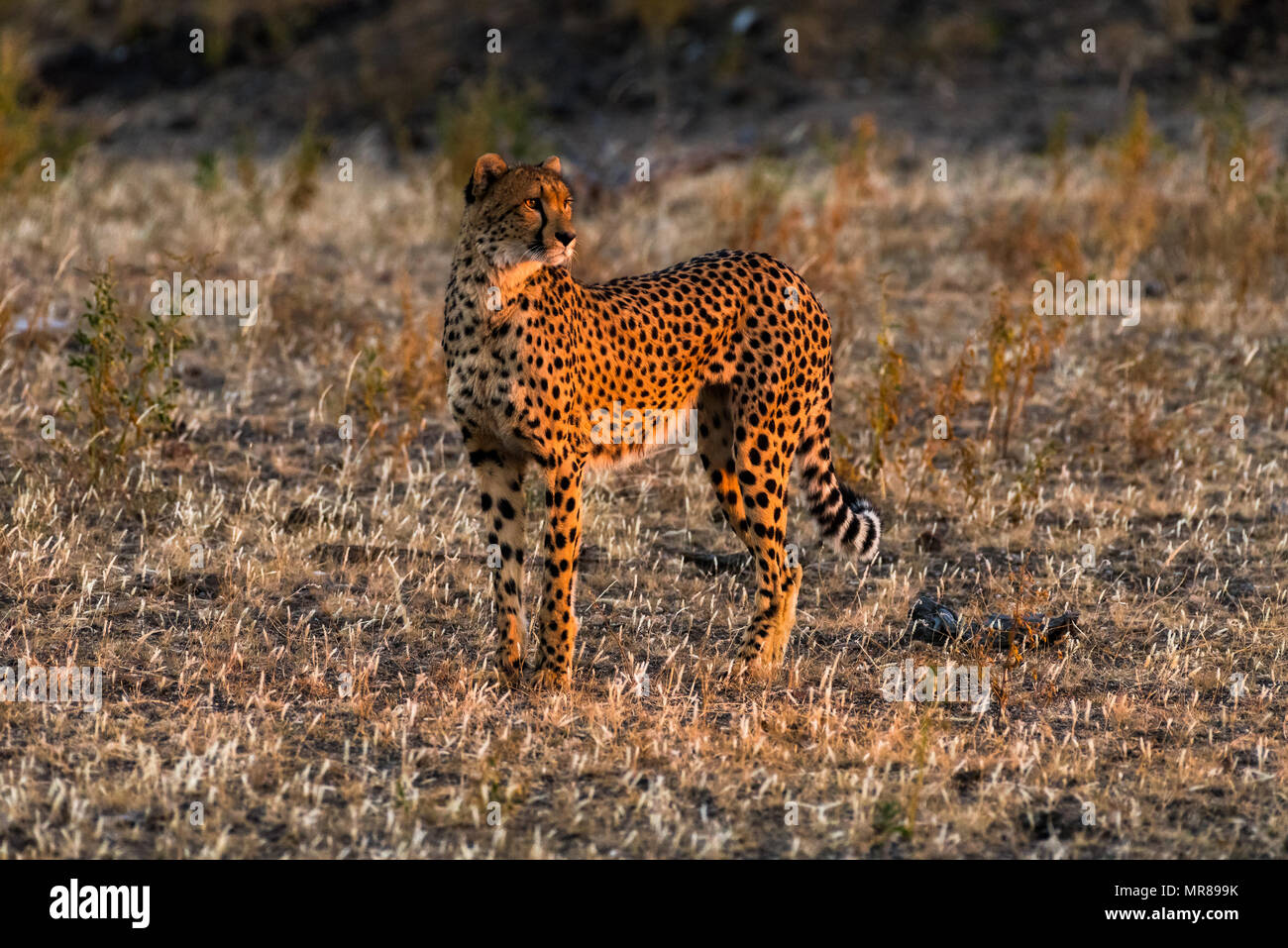 Cheetah at Mast Game Reserve Botswana - Stock Image