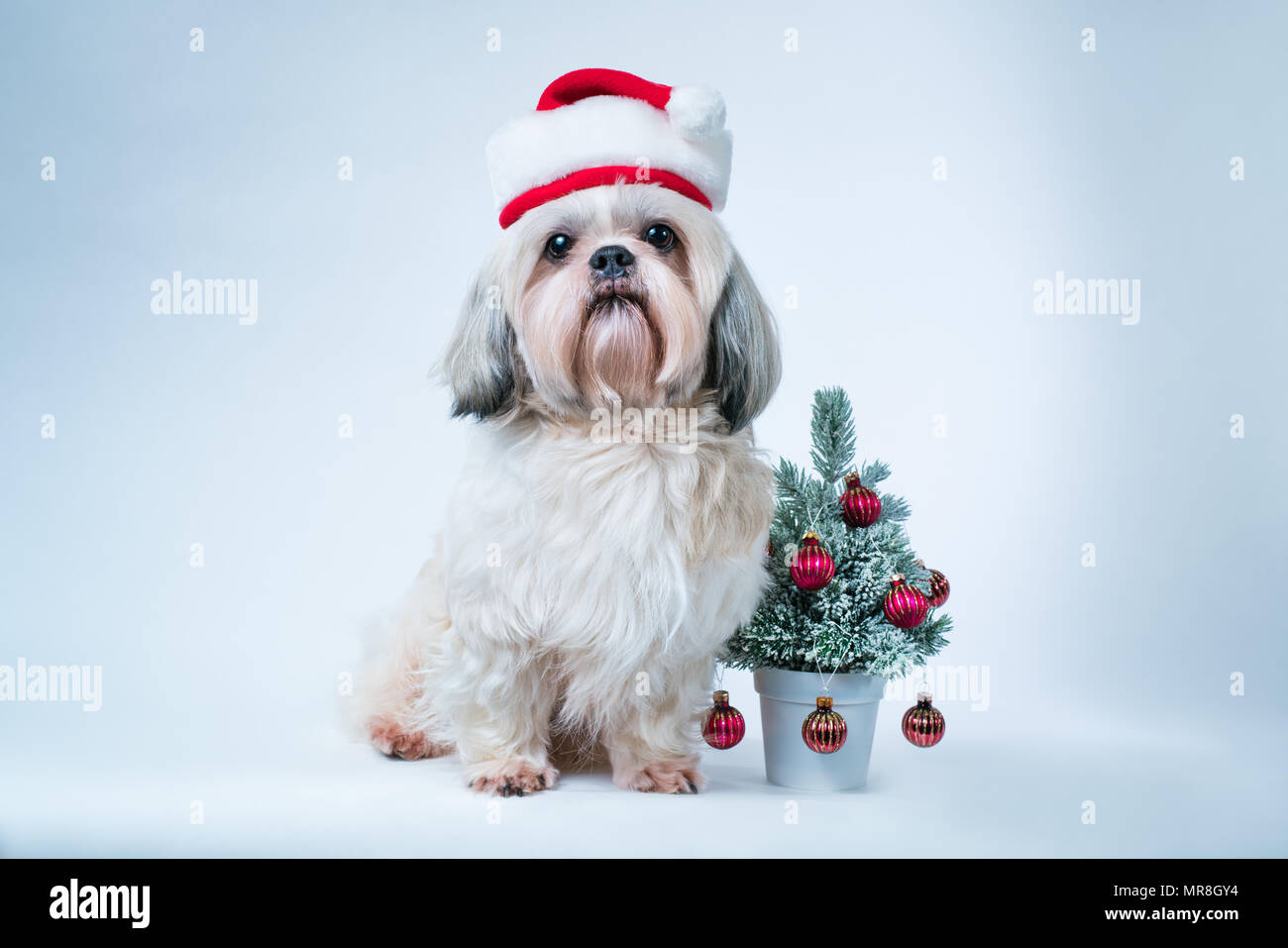 Shih Tzu Dog In Santa Hat With Small New Year Tree On White And Blue