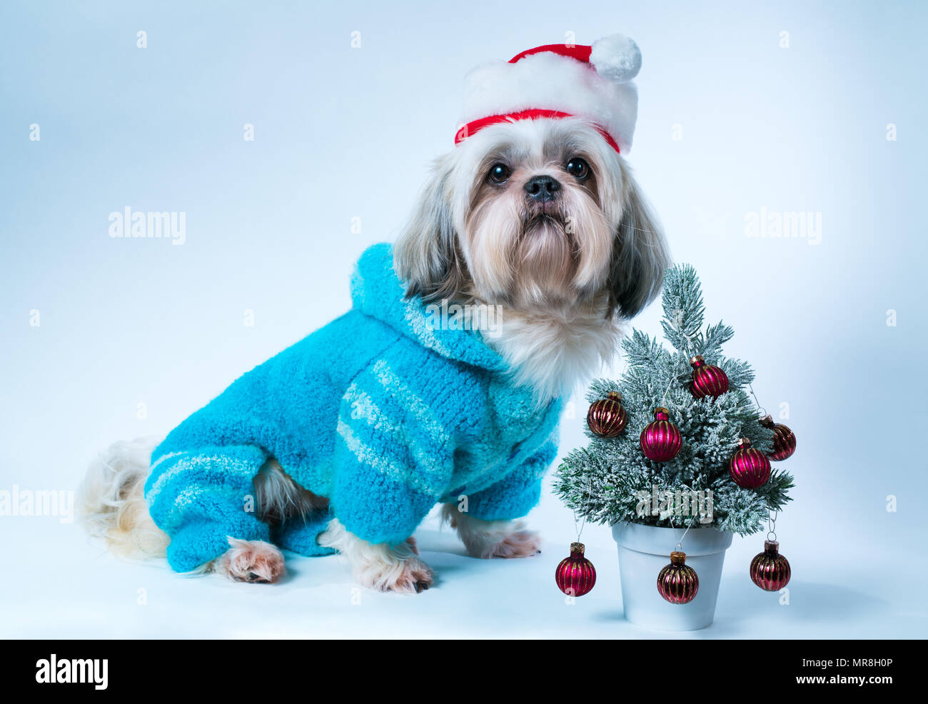 Shih Tzu Dog In Santa Hat And Blue Sweater With Small New Year Tree