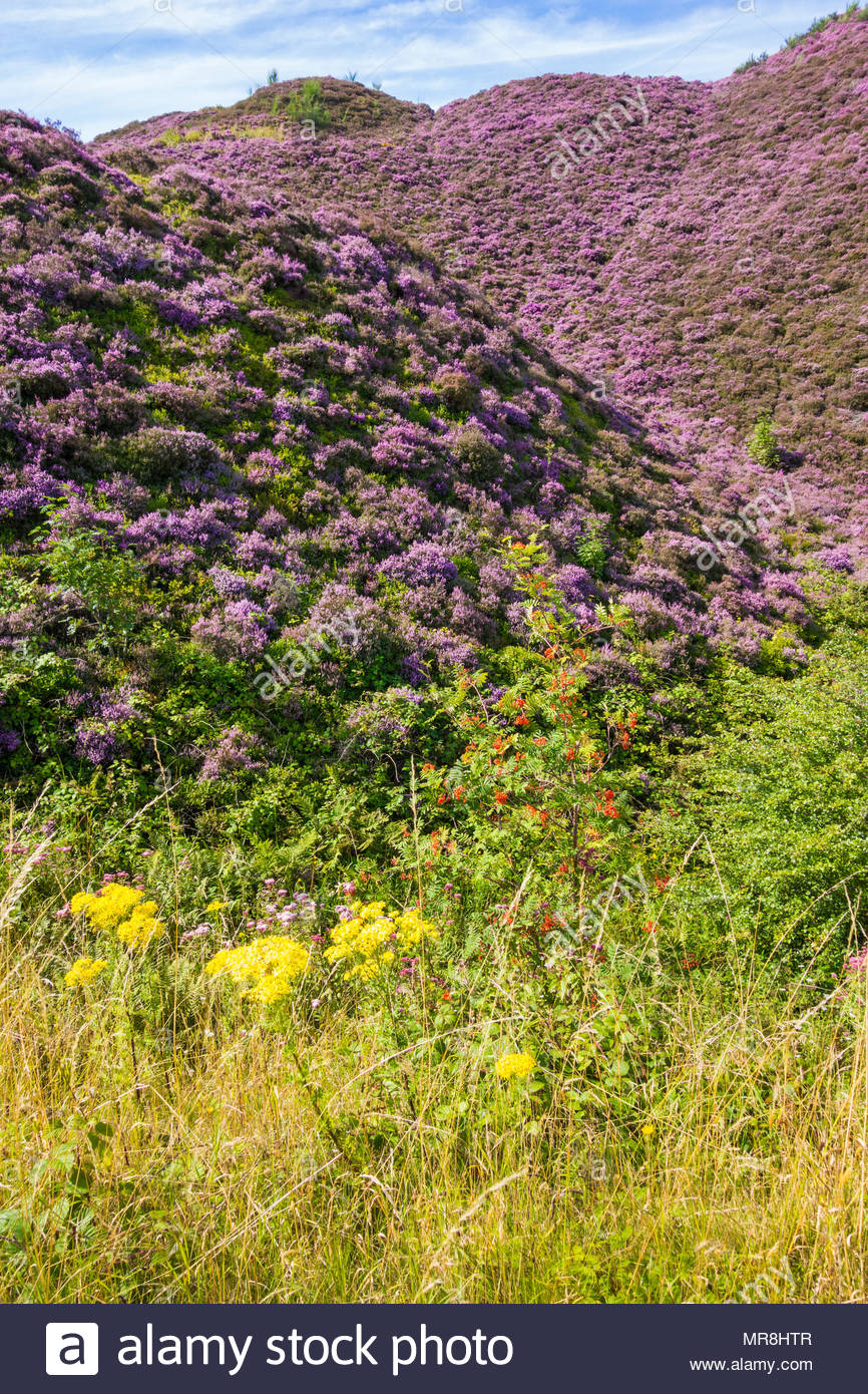 Heather, Oxford Ragwort and Rowan on the slopes of old colliery tips at Varteg, Torfaen, Wales, UK. Stock Photo