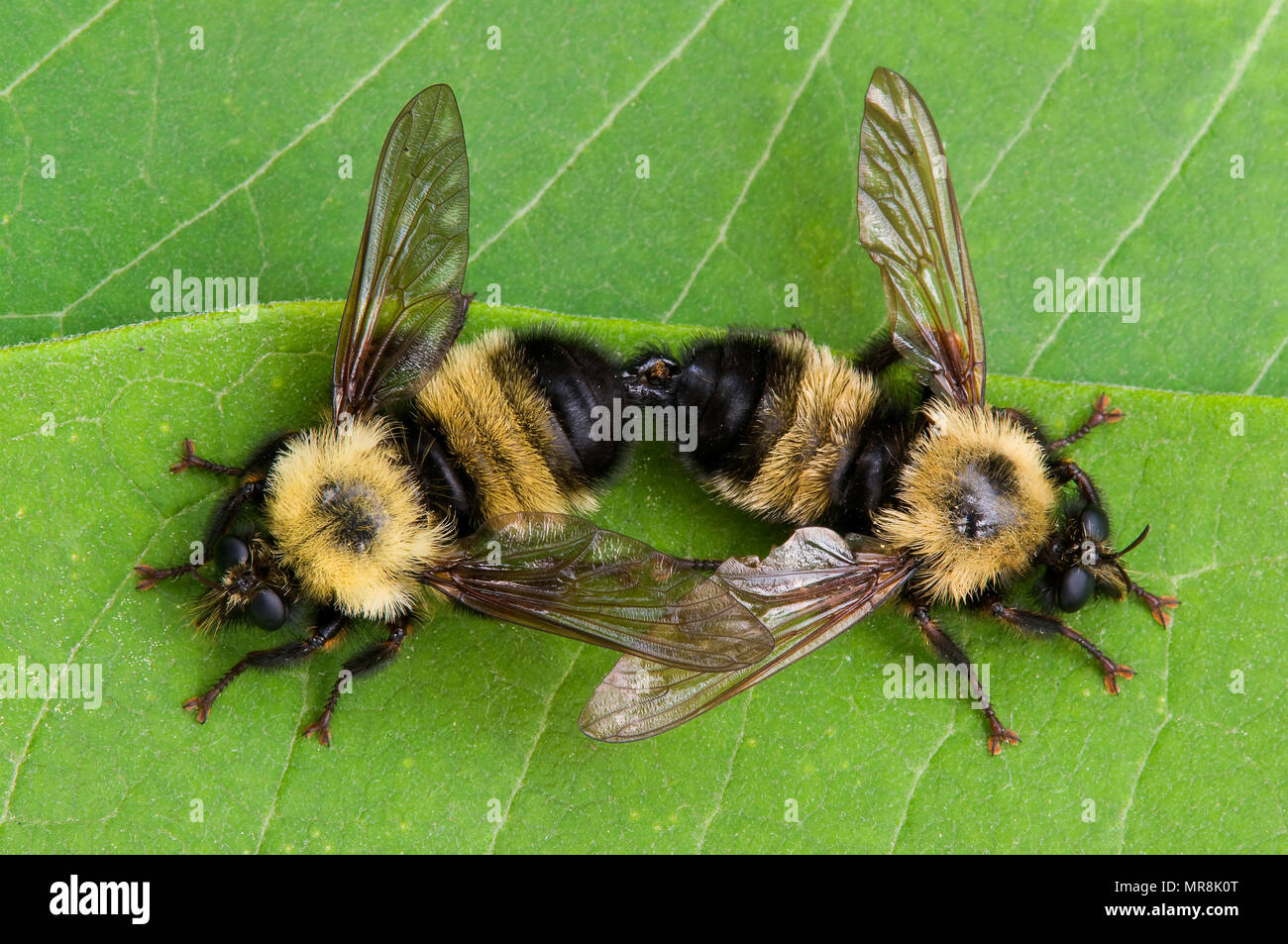 Common Eastern Bumble Bees (Bombus sps) mating, E. North America, by Skip Moody/Dembinsky Photo AssocStock Photo