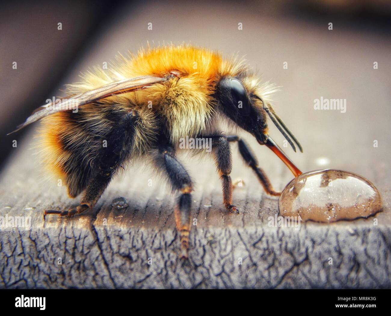 Common carder bee drinking a drop of sugar water close up - Stock Image