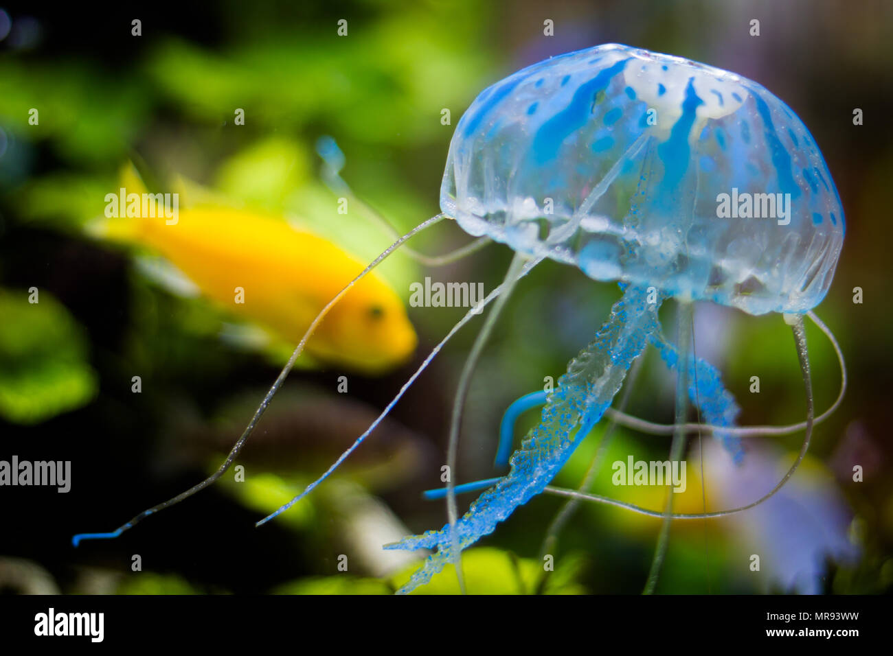 Blue and transparent jelly fish with yellow fish on the background - Stock Image