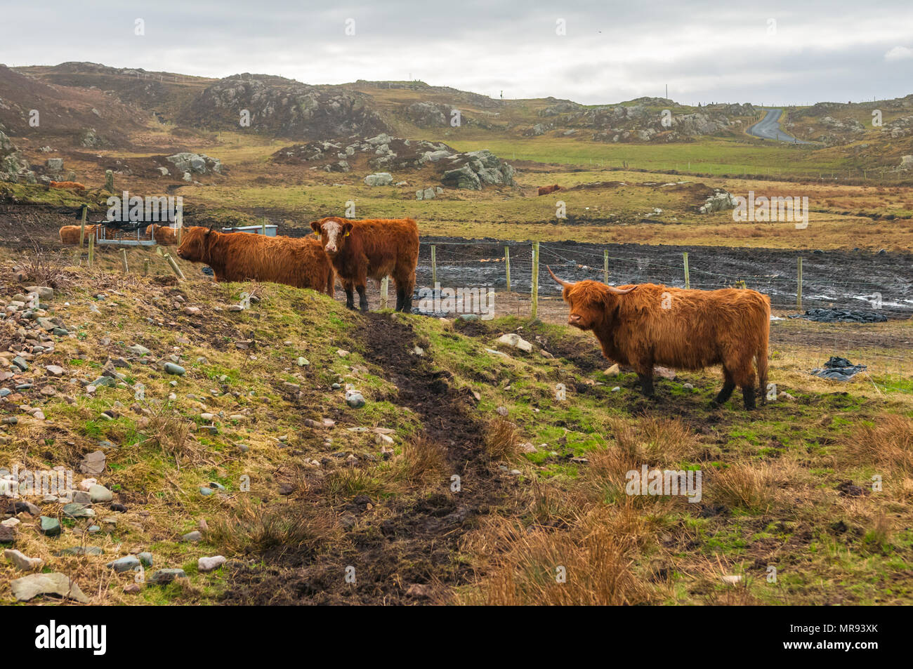 Highland cattle on the landscape in Donegal, Ireland Stock Photo