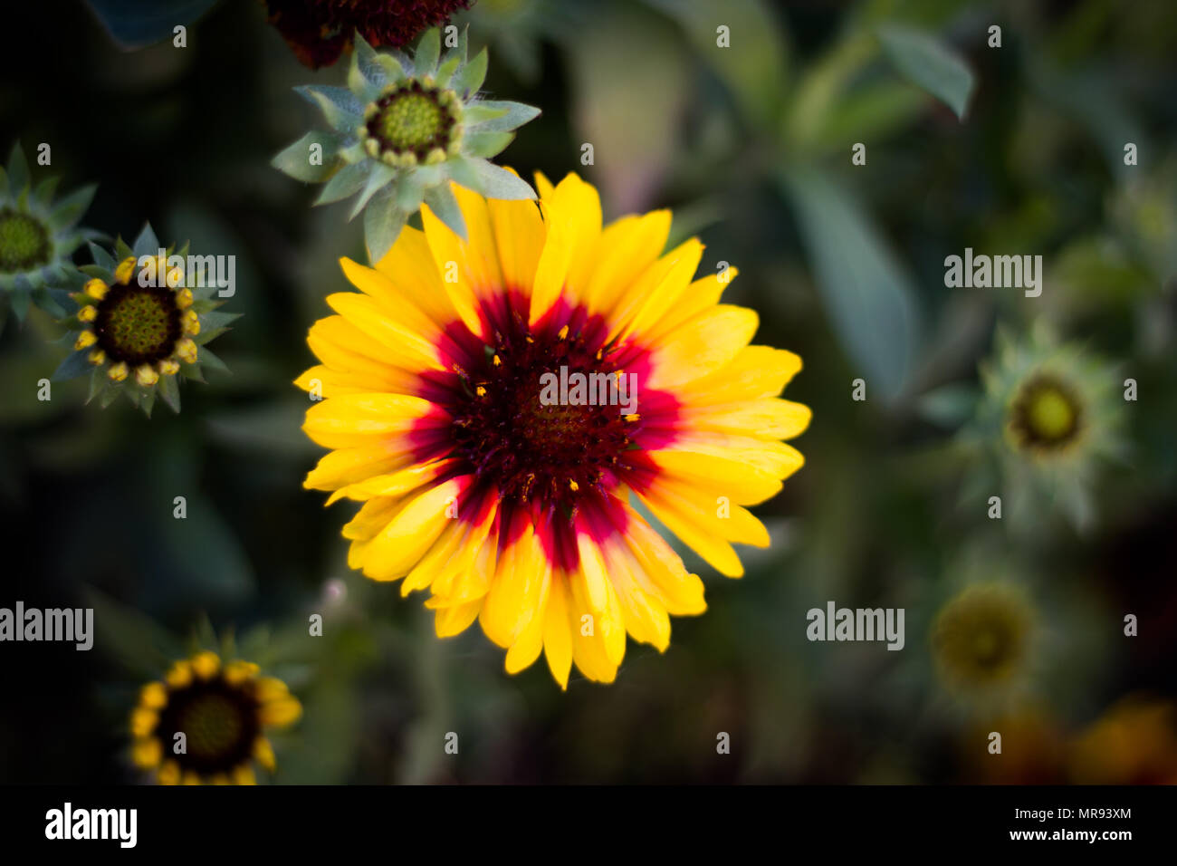 Pretty Yellow Flowers With Bright Red Color In The Middle Stock