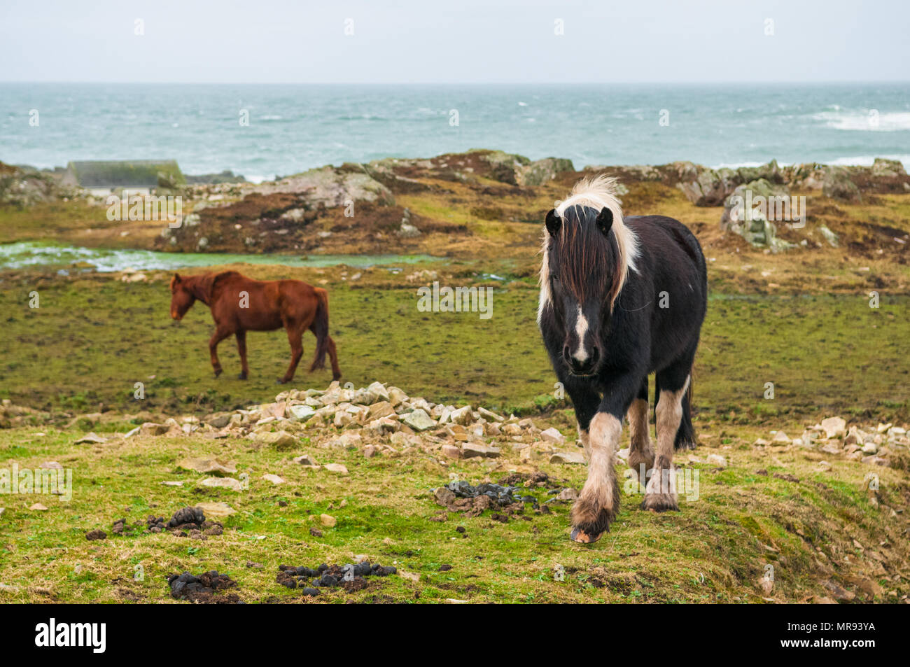 Horses on the landscape in Donegal, Ireland Stock Photo