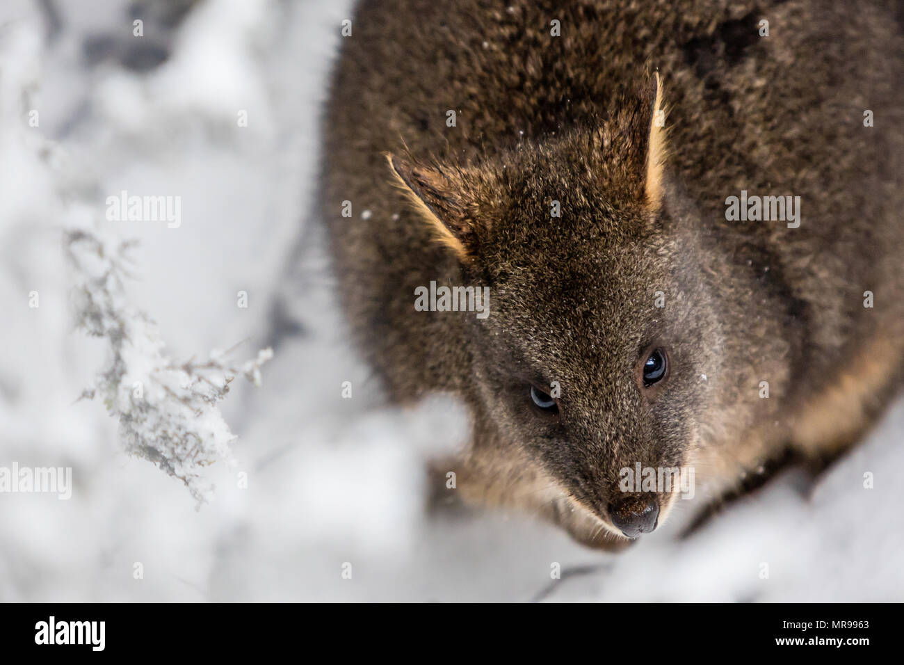 Wallabies Tasmania High Resolution Stock Photography And Images Alamy