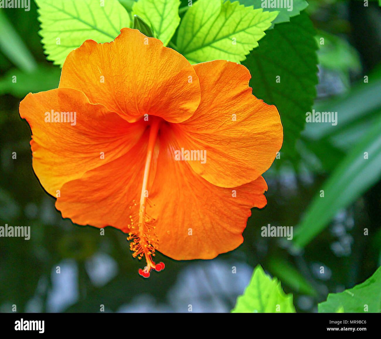 Hibiscus flower oahu hawaii stock photo 186447302 alamy hibiscus flower oahu hawaii izmirmasajfo