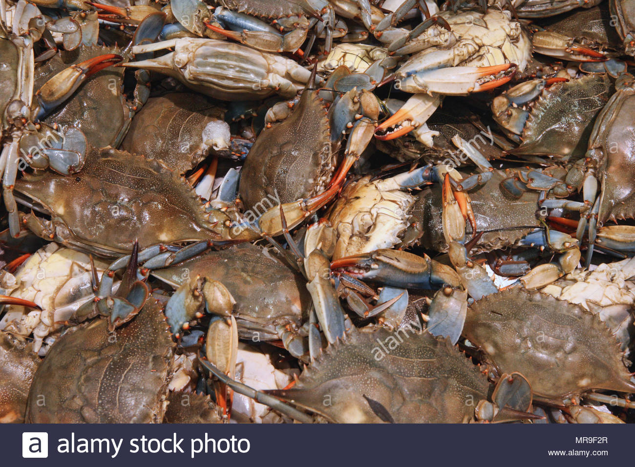 Live blue crabs (Callinectes sapidus) for sale at a market in Toronto, Ontario, Canada. - Stock Image