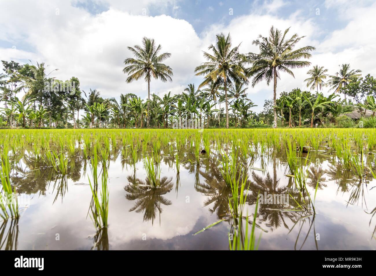 Rice paddies, Indonesia - Stock Image