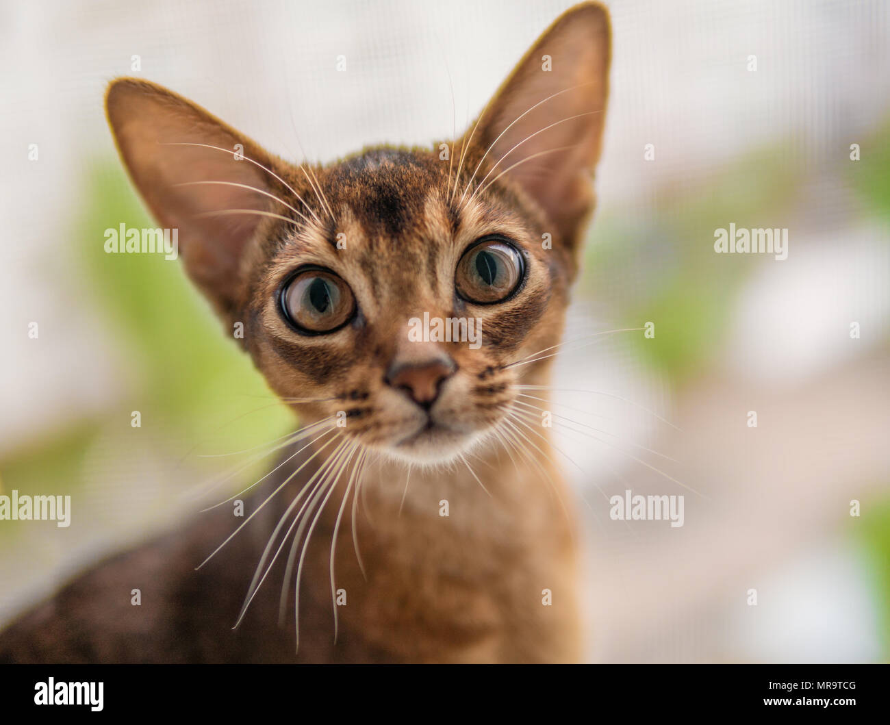 closeup view of Abyssinian cat or kitten sitting on the window Stock Photo