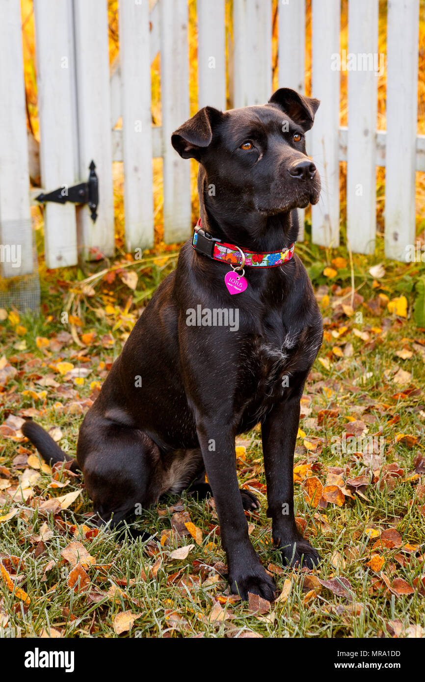 An alert adult female dogs sits attentively in a yard with autumn leaves around her. - Stock Image