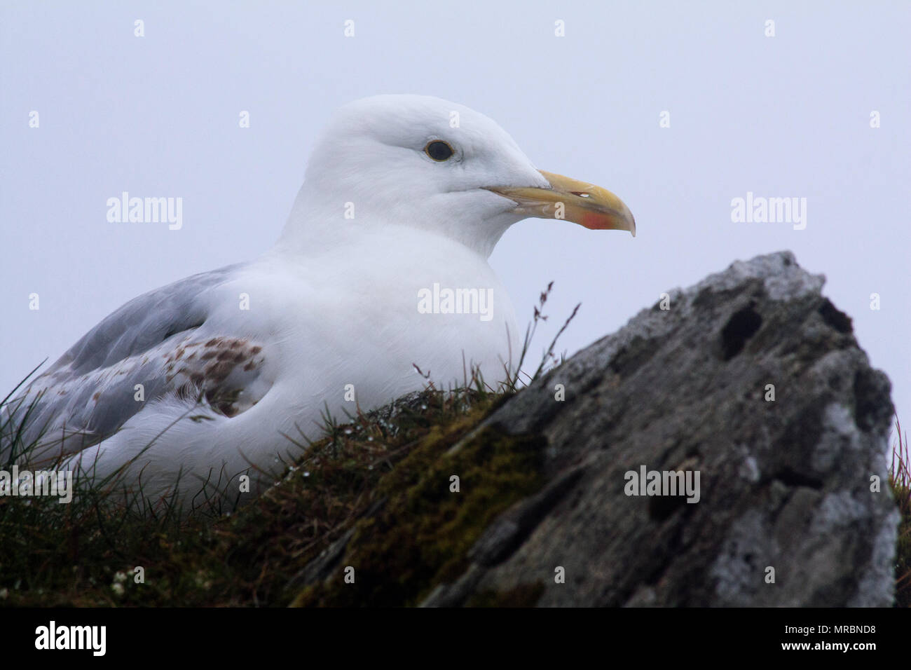 Close-up of an european herring gull (Larus argentatus) on top of Snowdon mountain, Snowdonia National Park, Wales. - Stock Image