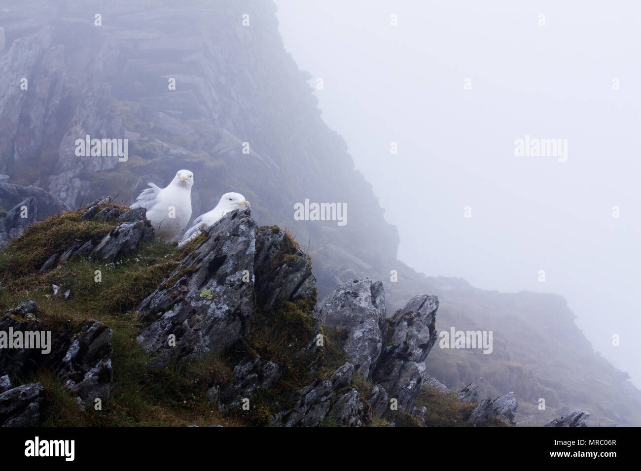Couple of european herring gull (Larus argentatus) on top of Snowdon mountain, Snowdonia National Park, Wales. - Stock Image