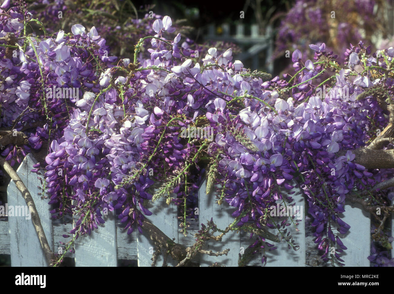 WISTERIA GROWING OVER OLD WHITE TIMBER PICKET FENCE - Stock Image