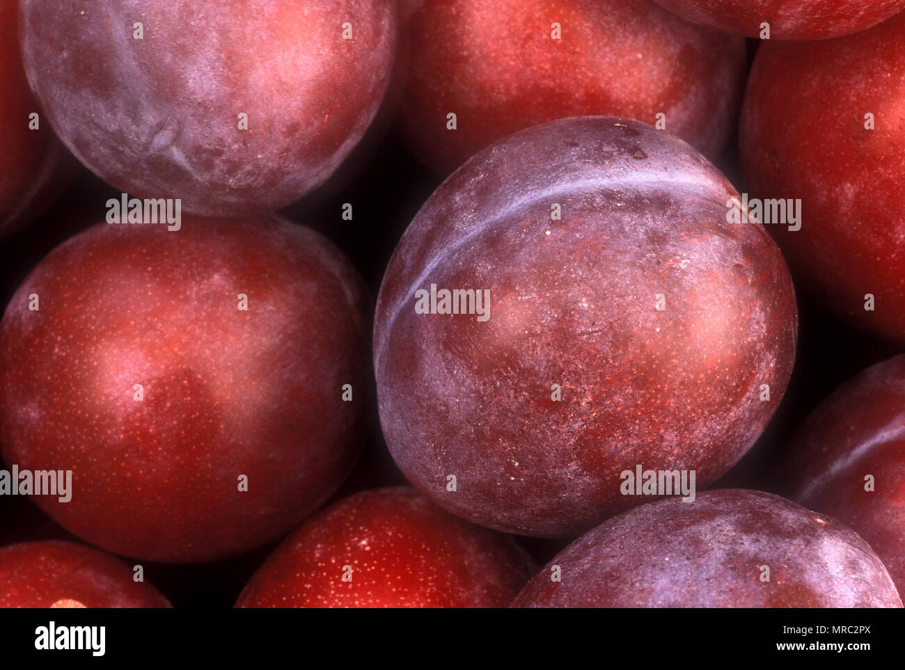 PLUMS (PRUNUS) 'RADIANT' - Stock Image