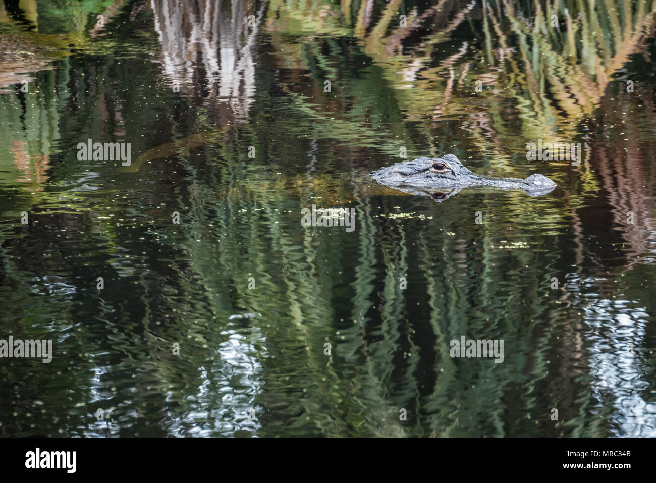Florida alligator floats motionless in the water of the Guana River while a gar fish swims just below the surface. - Stock Image