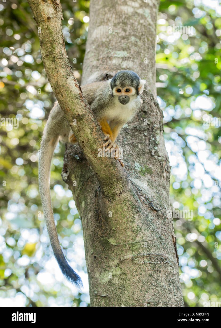 Squirrel monkeys in trees - photo#38