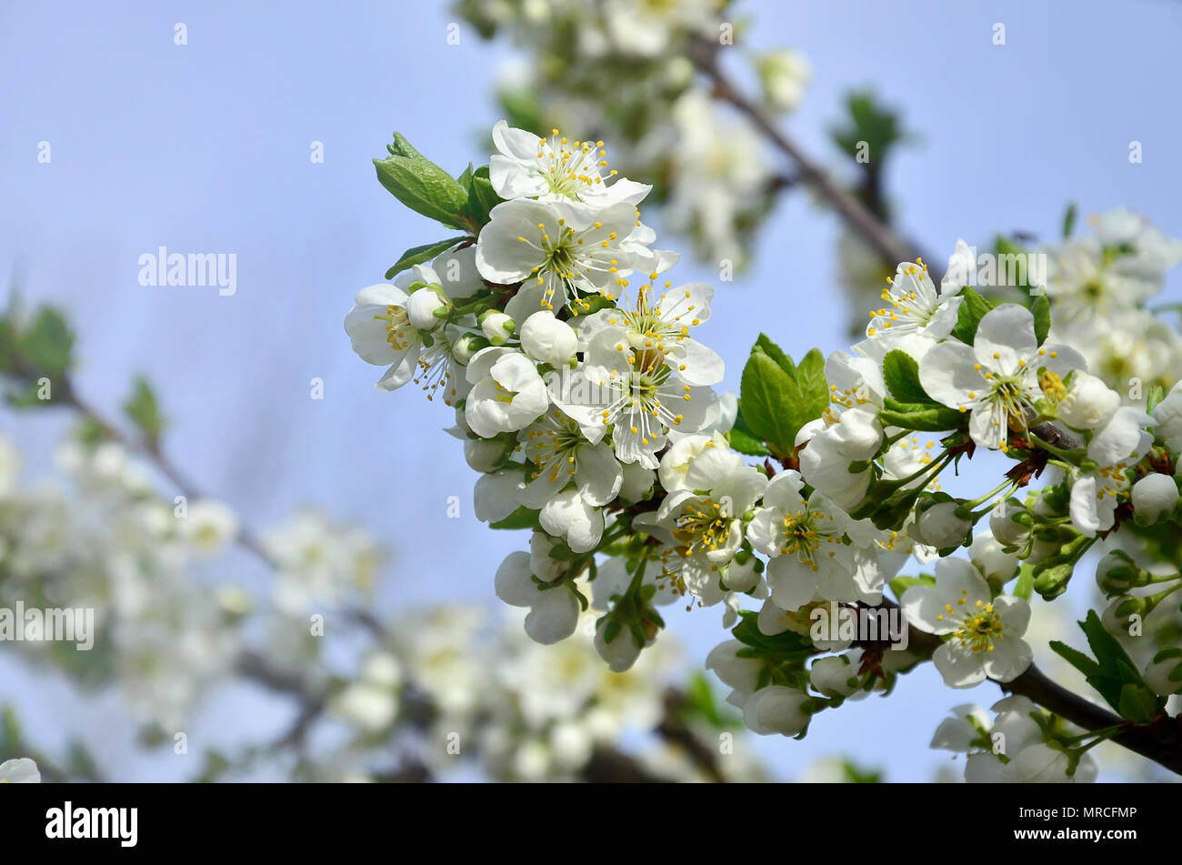 Flowering Branch Of Apricot Tree Early Flowering Of Trees In April