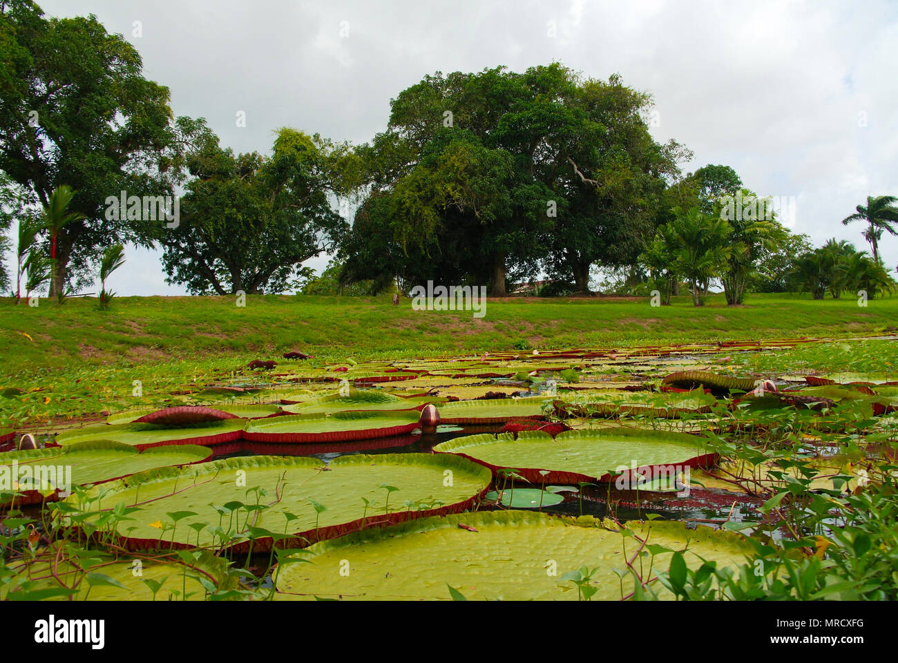 Lotus pond around gunpowder storage in Fort Nieuw Amsterdam at Marienburg, Suriname - Stock Image