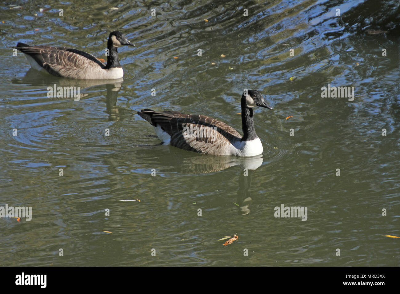 Canada goose or geese Latin brenta canadensis family anatidae swimming in the River Thames in the University Parks in Oxford UK in October - Stock Image