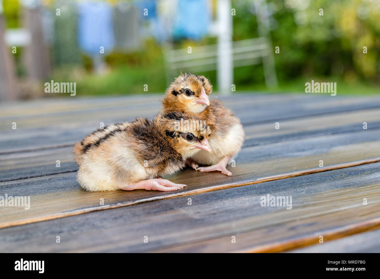 Two small creme legbar chickens standing on a table in a swedish garden - Stock Image