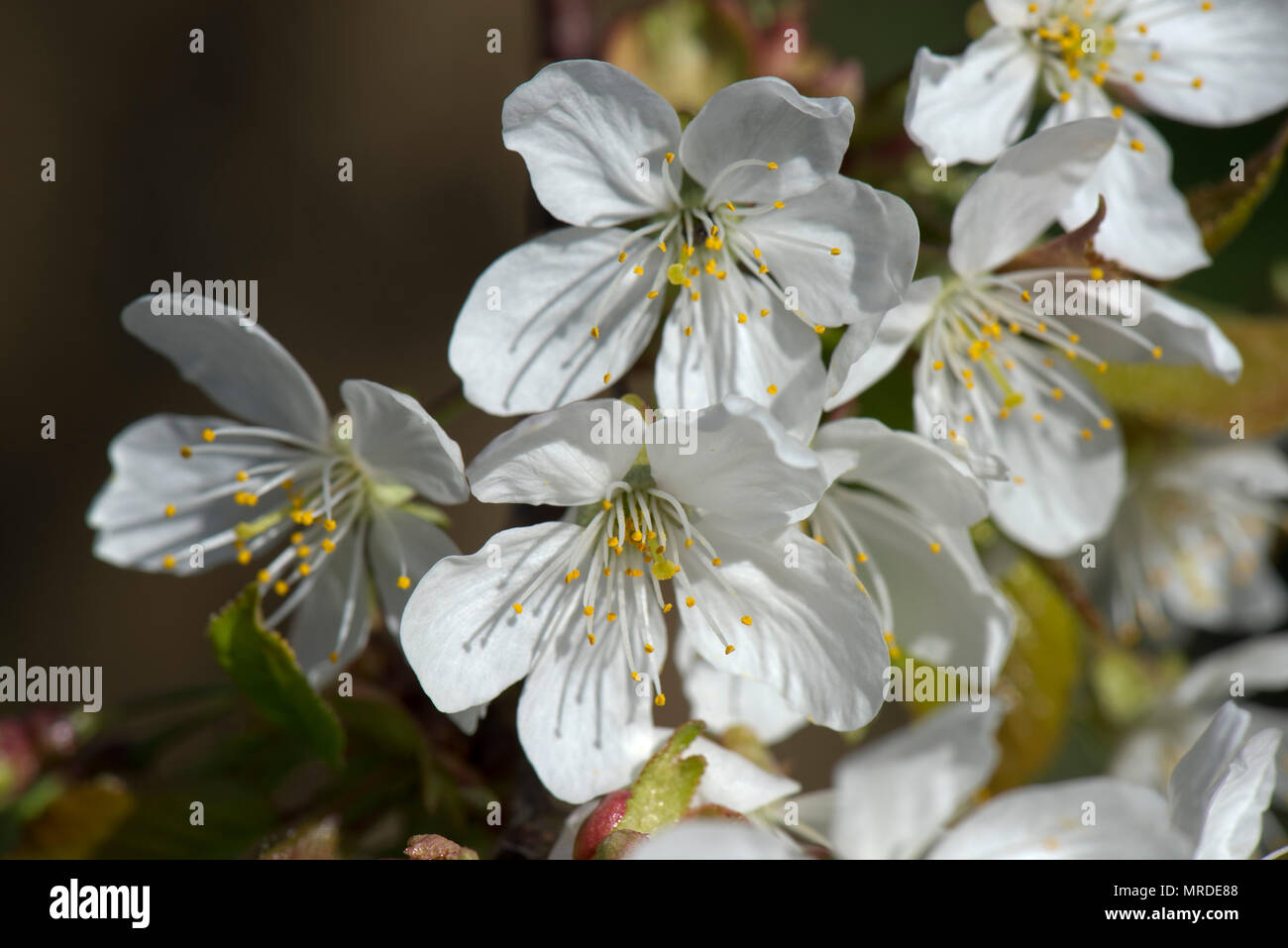 White, fully open flowers on a plum tree with pollen bearing anthers on stamen casting shadows on  the petals, April Stock Photo