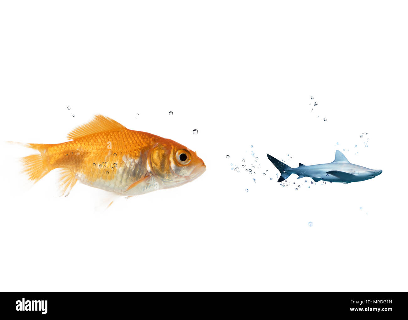 Big goldfish attacks a scared shark in the ocean. concept of bravery - Stock Image