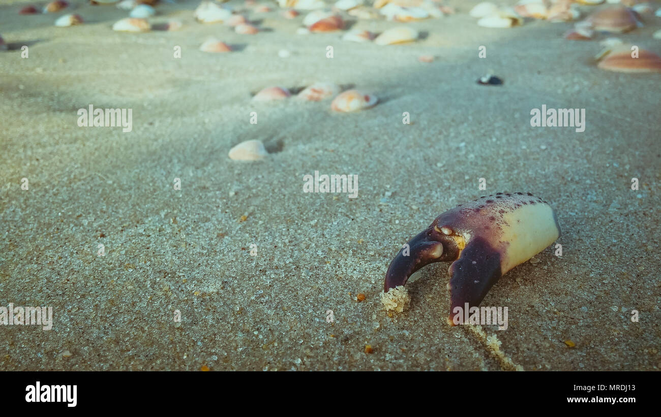 Dead crab claw on the sand at the beach. - Stock Image