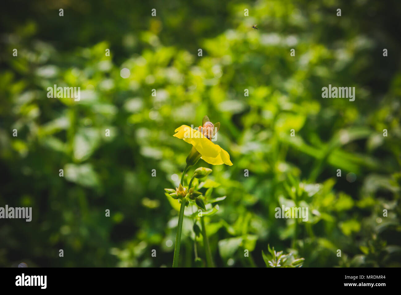 Bee on yellow flower. Close up. Selective focus. vintage look. - Stock Image