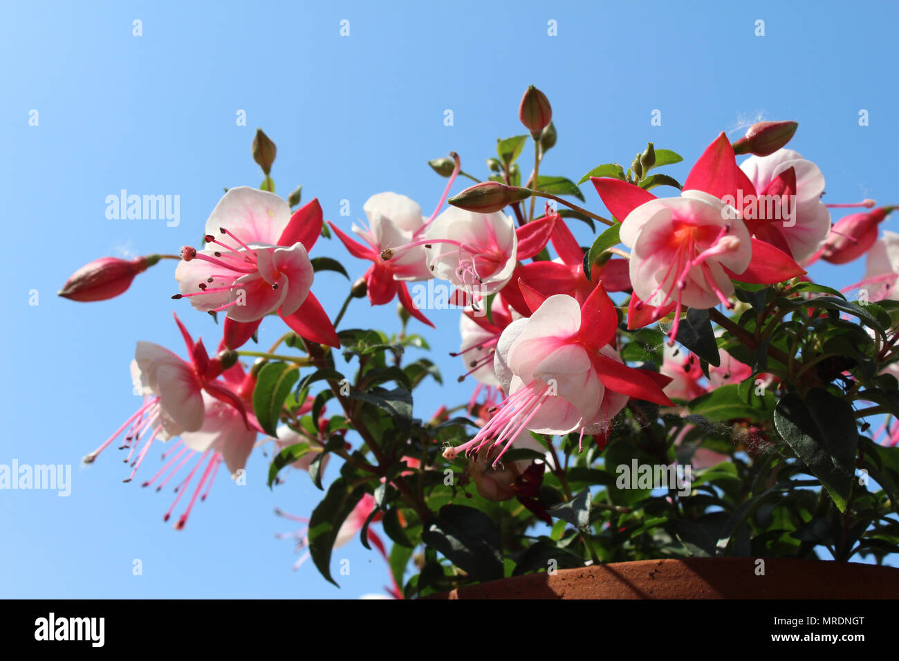 The bright bi colored flowers of a pink and white fuchsia the bright bi colored flowers of a pink and white fuchsia flowering in the summertime against a background of blue sky mightylinksfo