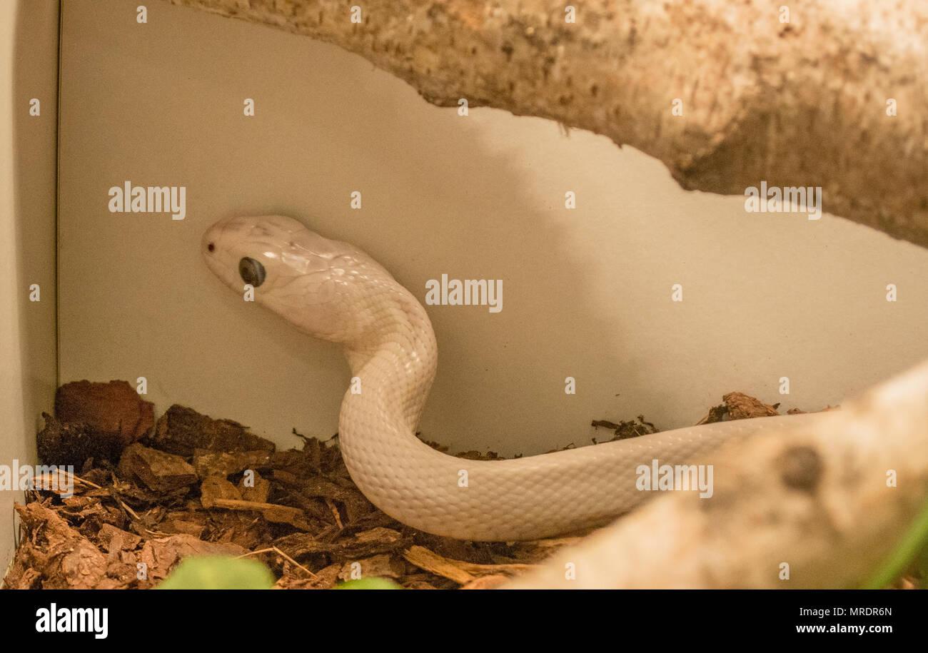 Pantherophis obsoleta / Rat snake - Stock Image
