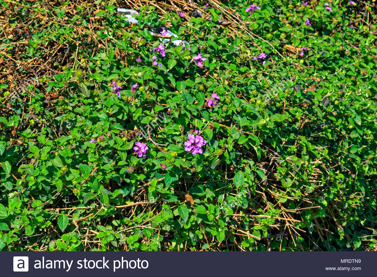 Green Bush With Purple Flowers And A Plastic Bag Shot In Sunlight