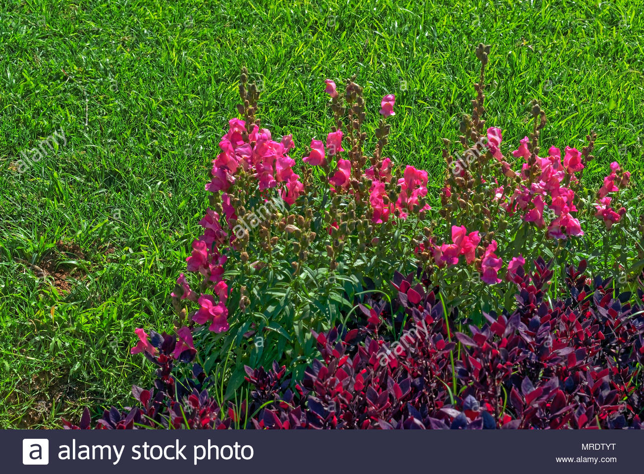 Pink Flowers And Purple Bush Like Plants On A Grass Background Shot