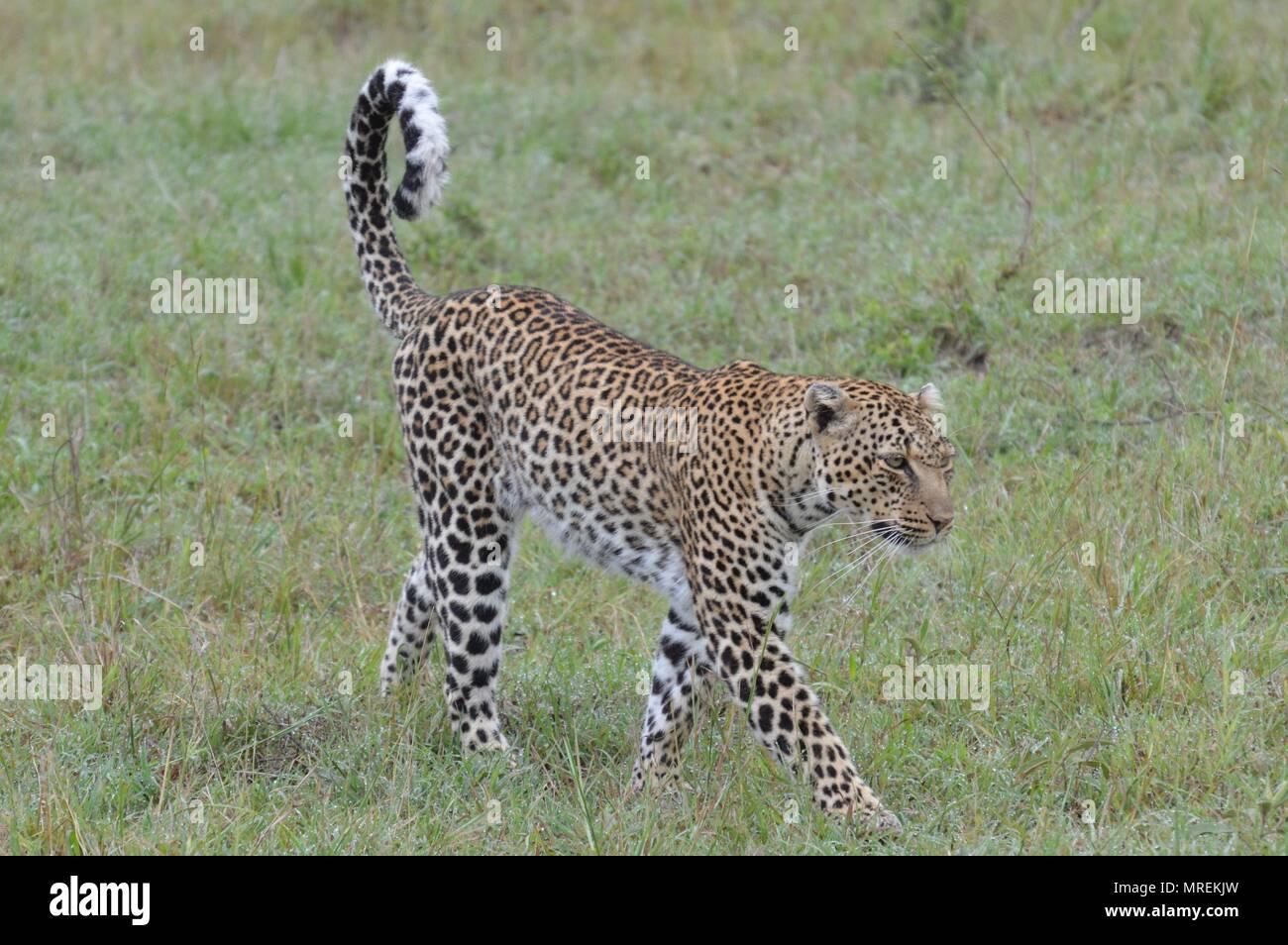 Leopard strolls along Maasai Mara - Stock Image