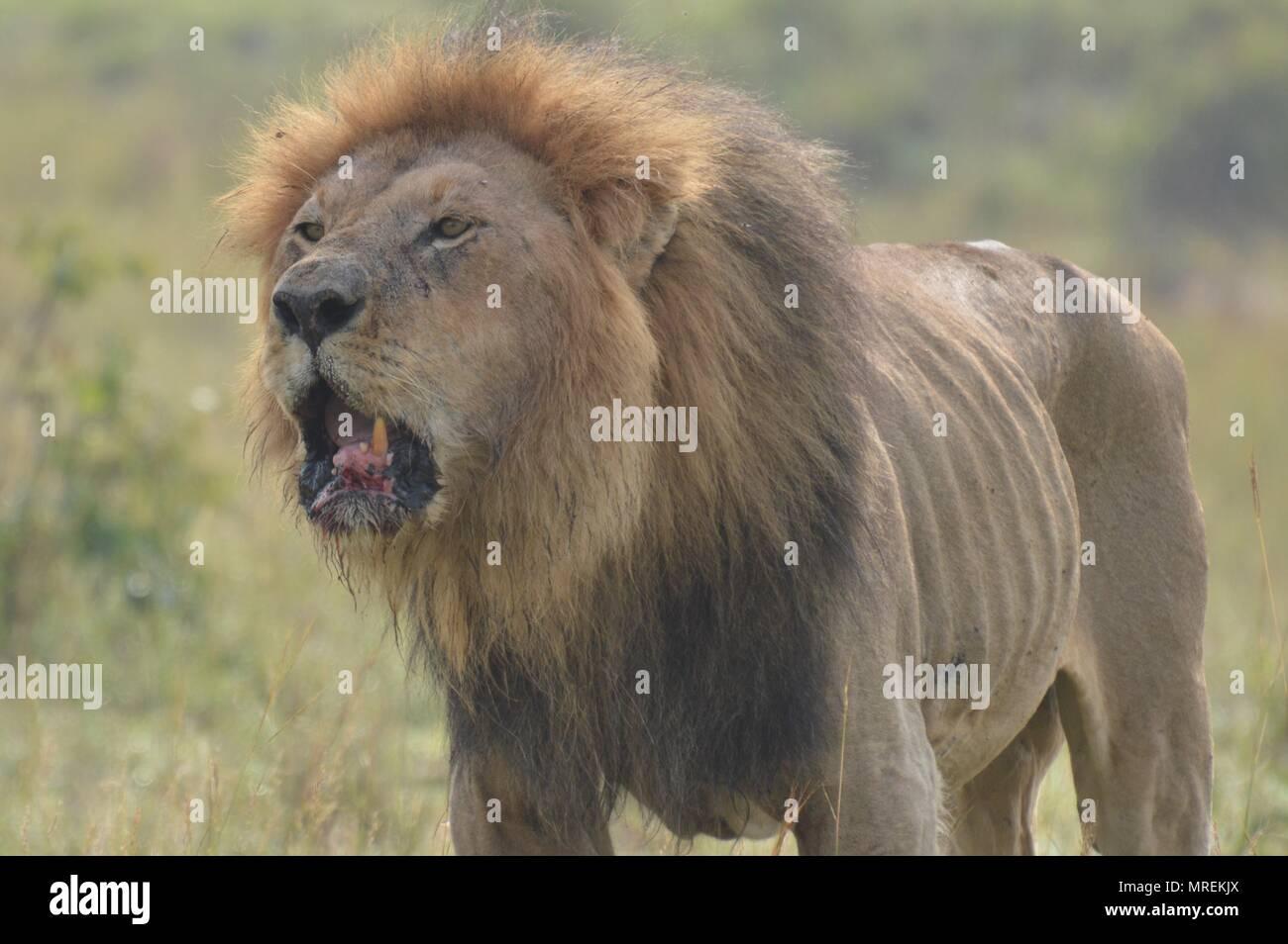 Male lion with full mane roars on Maasai Mara - Stock Image