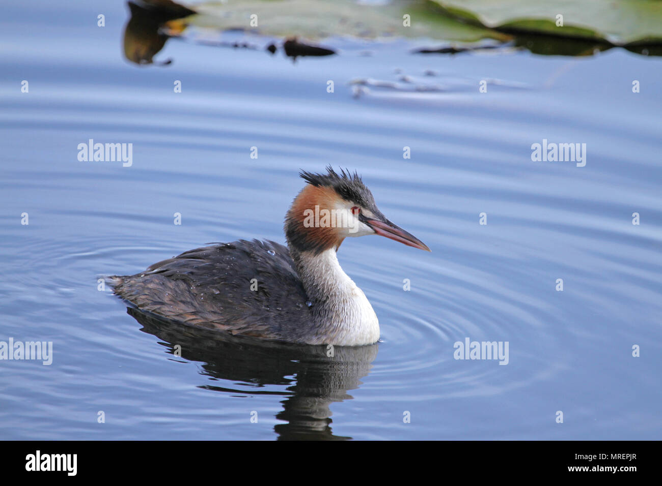adult great crested grebe or horned grebe podiceps cristatus svasso cornuto close up in Colfiorito nature reserve in Italy - Stock Image