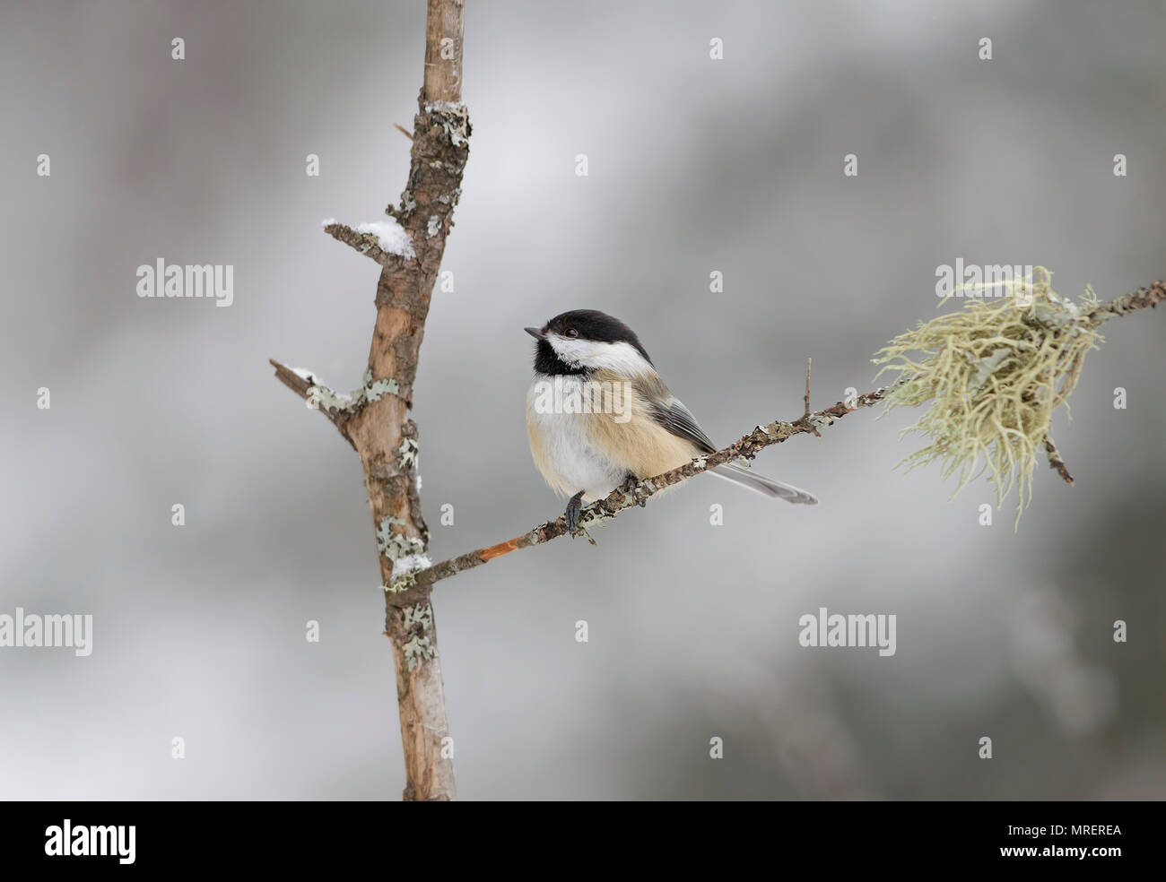 Black-capped Chickadee perched on branch in winter in Algonquin Park in Canada Stock Photo