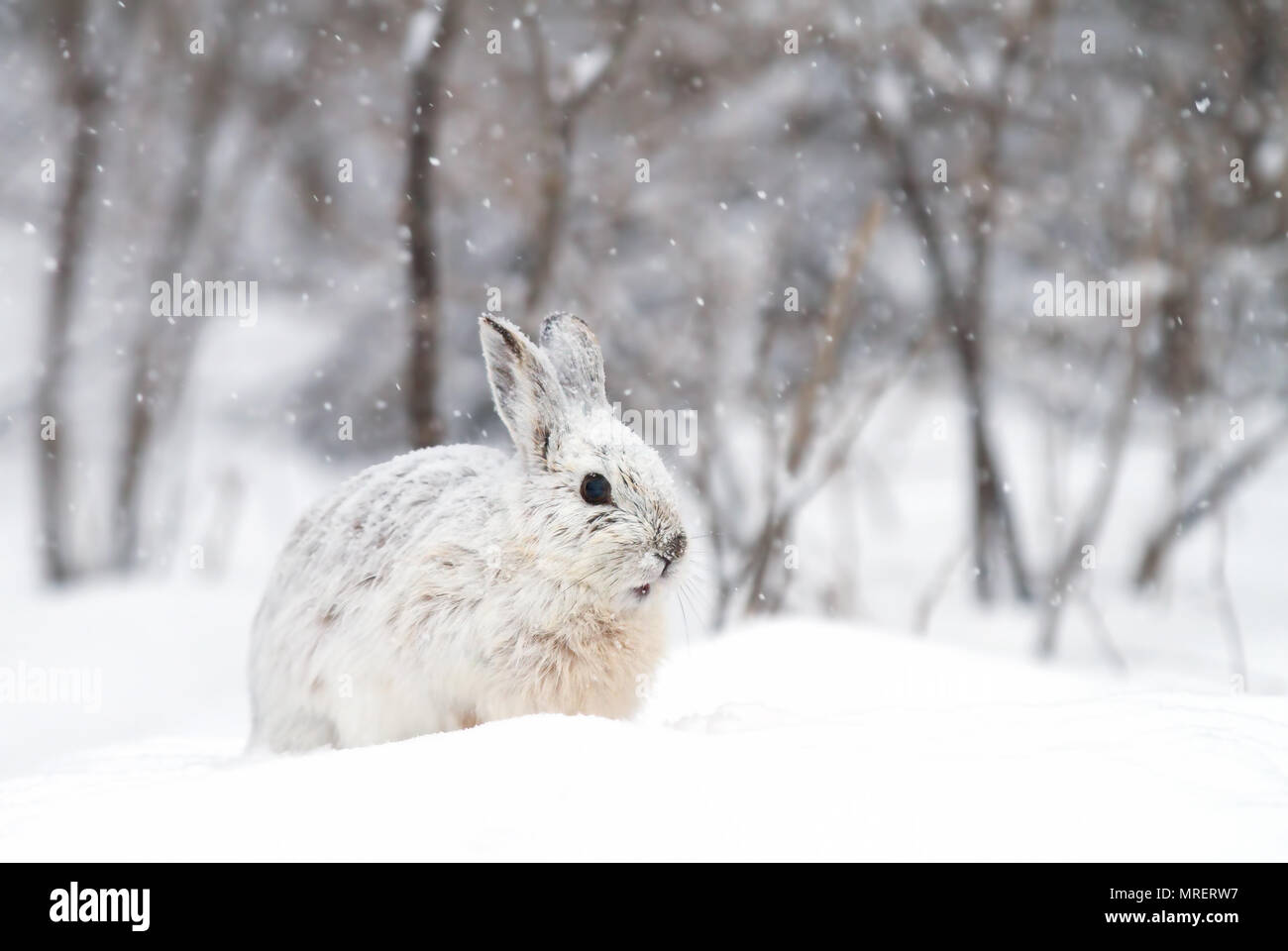 Snowshoe hare or Varying hare (Lepus americanus) standing in the snow with a white coat in winter in Canada - Stock Image