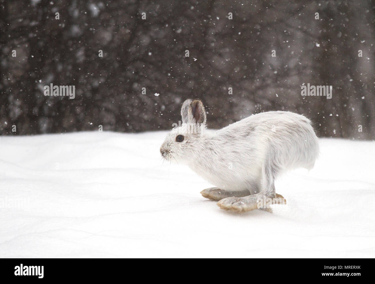 Snowshoe hare or Varying hare (Lepus americanus) running in the snow with a white coat in winter in Canada - Stock Image