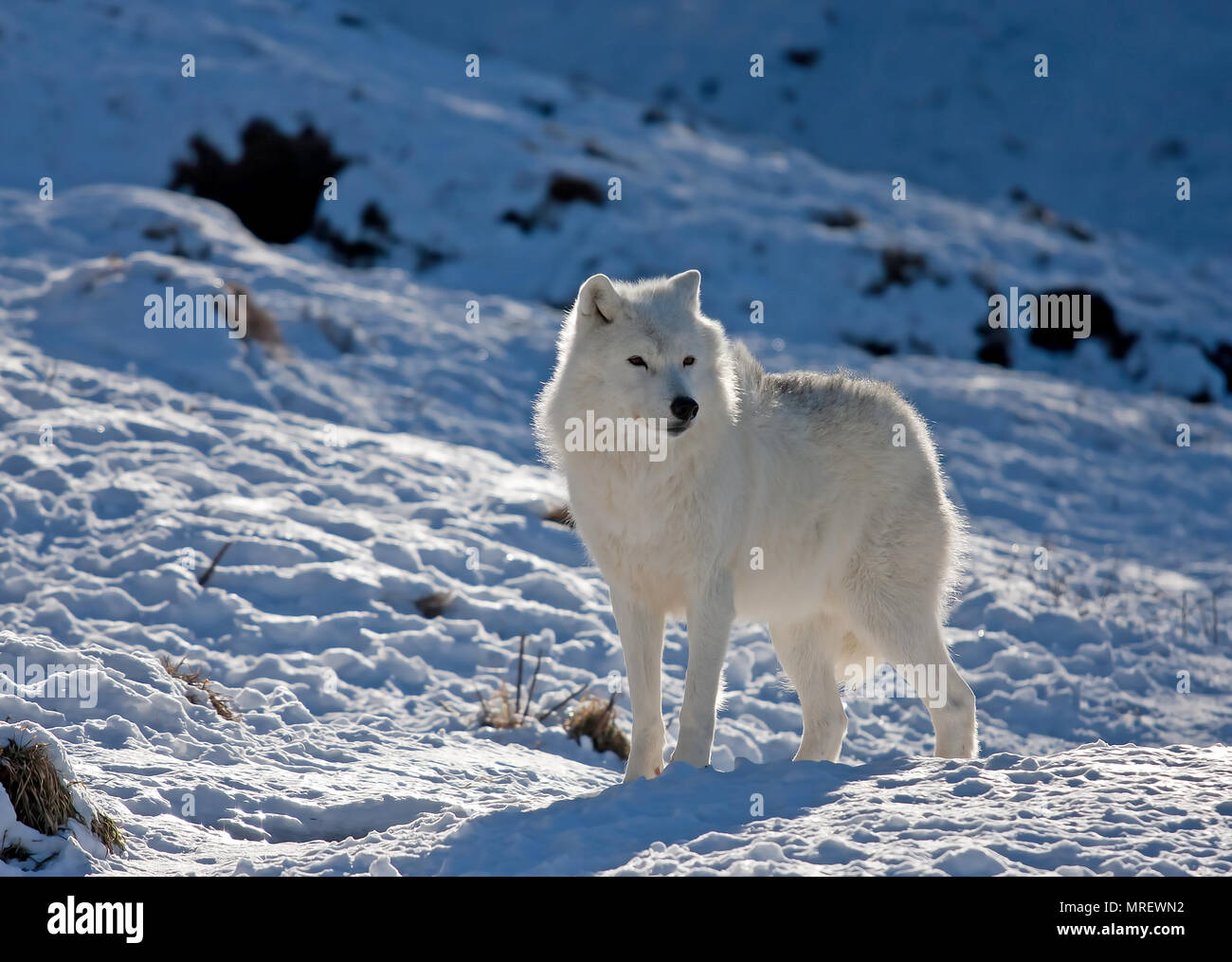 A lone Arctic wolves (Canis lupus arctos) standing in the winter snow Canada - Stock Image