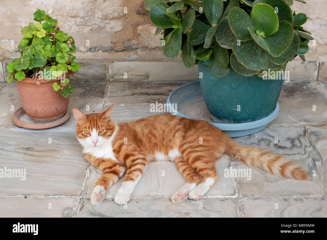 A resident ginger cat at the Revakli Ev Guest house, Dipkarpaz, Northern Cyprus - Stock Image