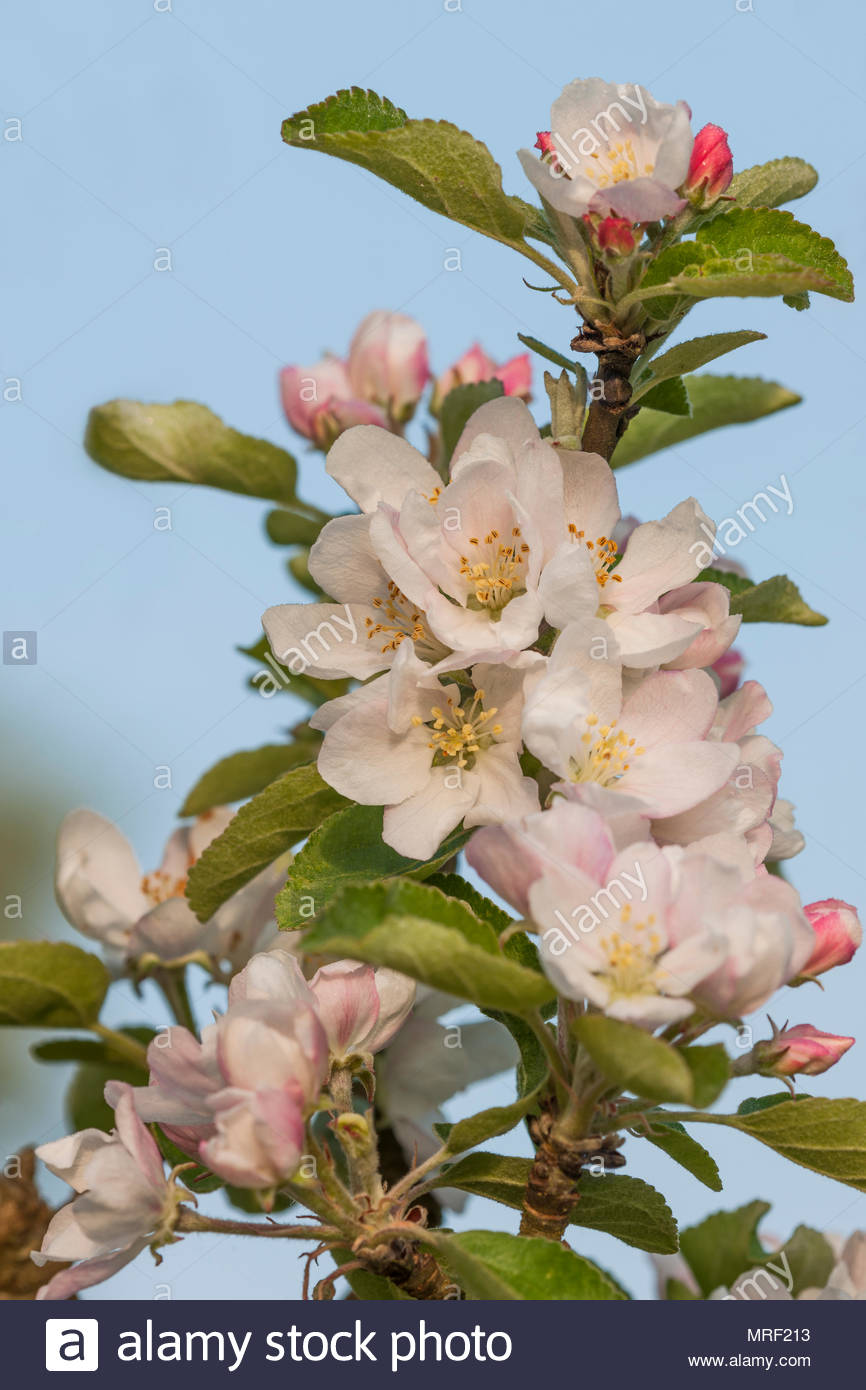 Apple blossom Malus 'Crawley Beauty' - Stock Image