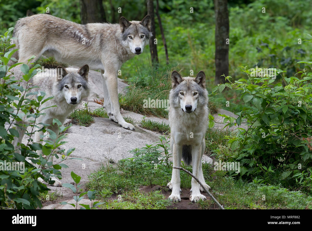 Timber wolves or Grey wolf (Canis lupus) standing on a rock cliff in summer in Canada - Stock Image