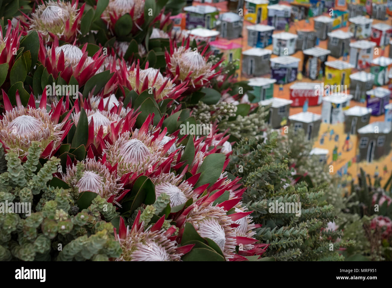 London UK, May 2018. Pink / red protea flowers, seen at a display at the Chelsea Flower Show, put on by the Royal Horticultural Society. - Stock Image