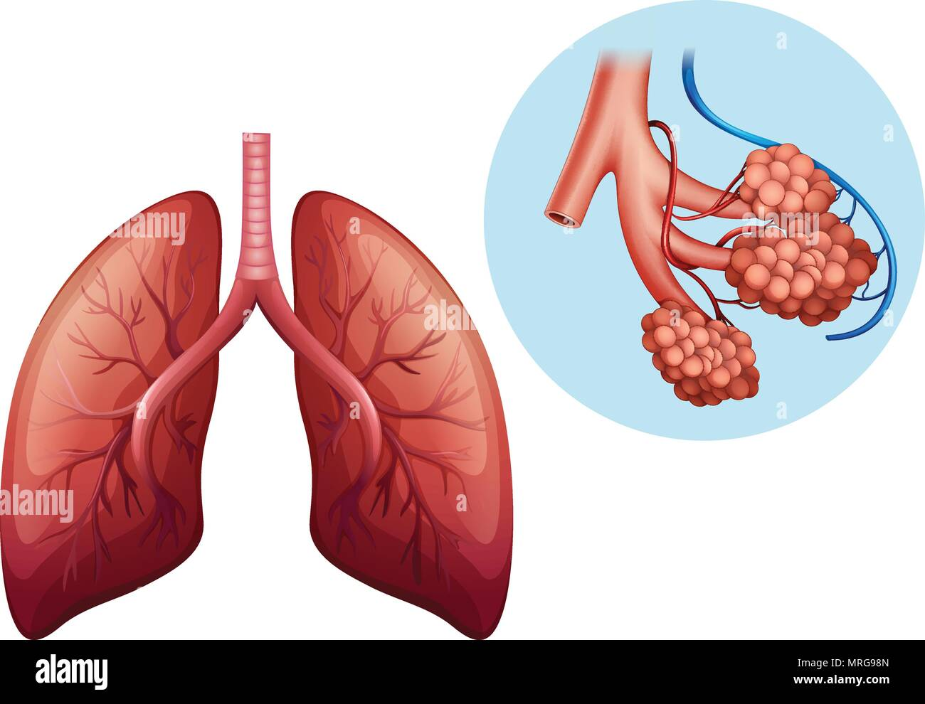 Human Anatomy Of Human Lung Illustration Stock Vector Art