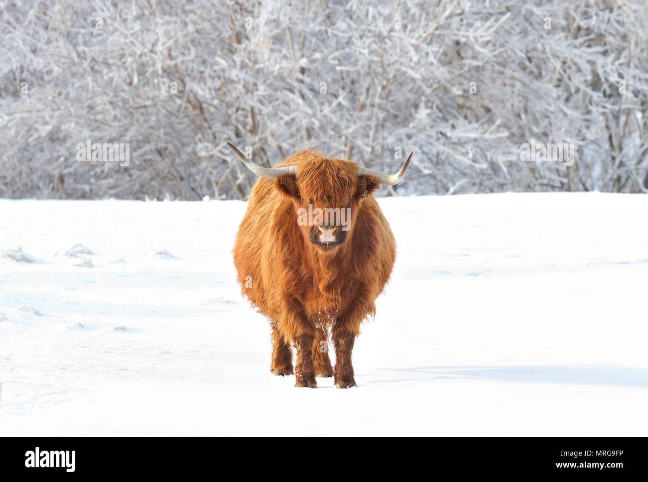 Highland cow standing in a snowy field in winter in Canada - Stock Image